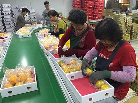 臺中市優質椪柑行銷東南亞