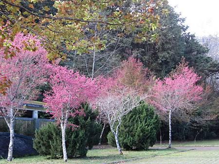 大雪山國家森林遊樂區櫻花綻放迎春