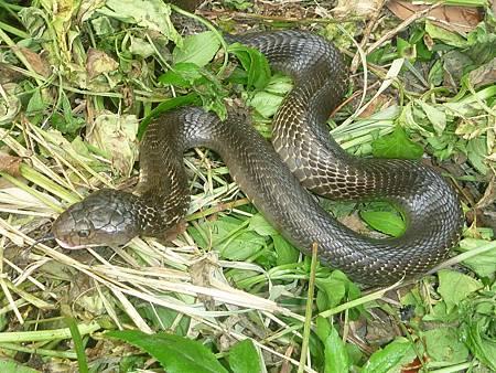 天氣回暖蛇類活動漸頻繁