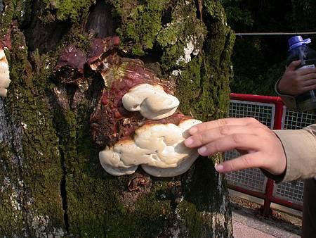 山區雨後菇蕈類長出慎防誤食中毒
