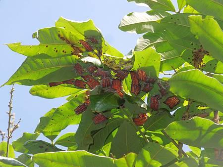 荔枝銹螨及荔枝椿象