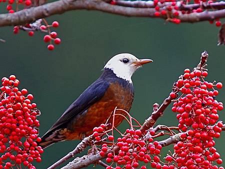 大雪山飛羽賞鳥賽