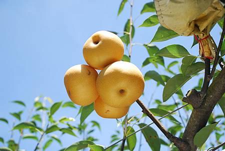 高接梨採收