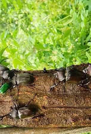 東勢林場昆蟲季登場