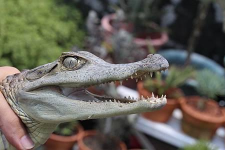 霧峰農田水溝鱷魚出沒