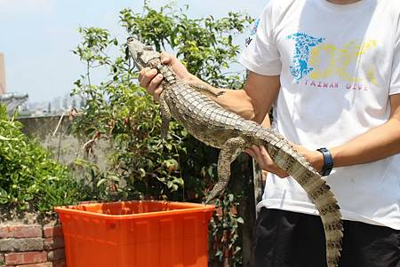 排水溝鱷魚1