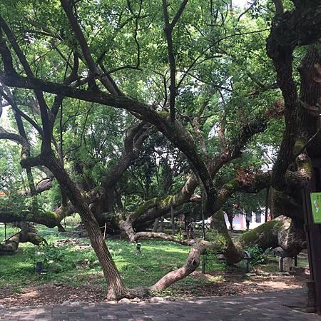 石岡龍興社區護老樹