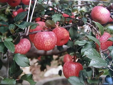 T梨山蜜蘋果