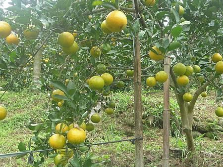 石岡柑橘B