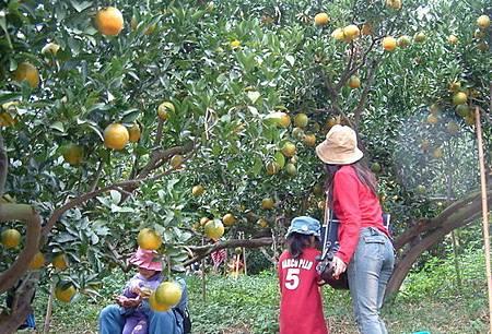 豐原柑桔產銷活動品嚐酸甜美味