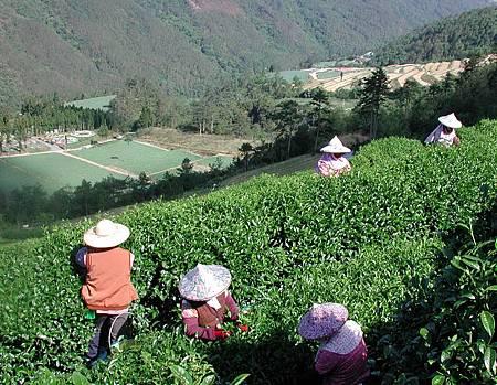 武陵農場茶園
