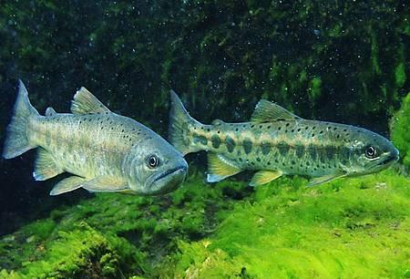 雪霸處25年鮭魚保育歷程展