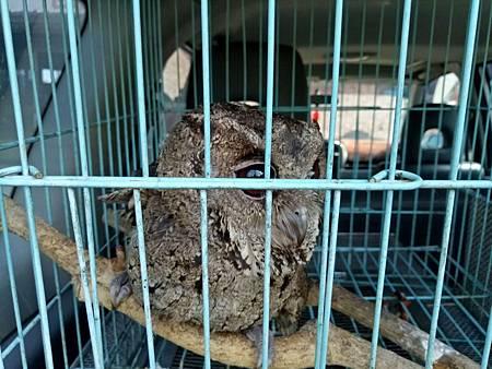 領角鴞落難被關民眾報警救出
