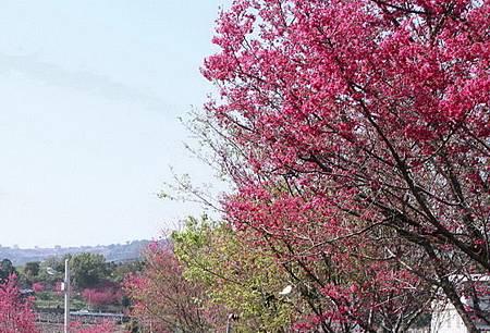 新社櫻花季週日登場