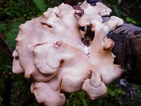 H雨後菇蕈類.jpg