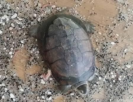 柴棺龜背紋-2.jpg