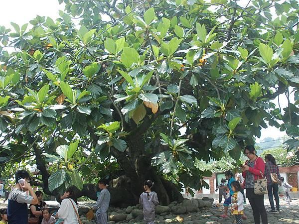 H百年麵包果樹.jpg