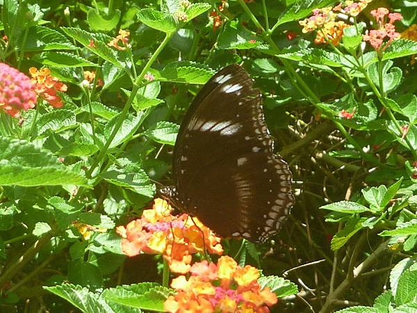 H紫斑蝶.jpg