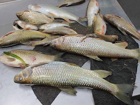 N食水嵙溪魚死.jpg