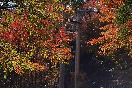 H大雪山楓紅2.jpg