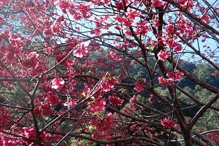 H八仙山櫻花1.jpg