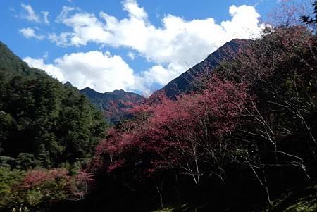 H八仙山櫻花2.jpg