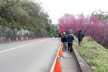 H新社櫻花開2.jpg