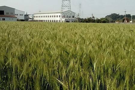 H大雅小麥2.jpg