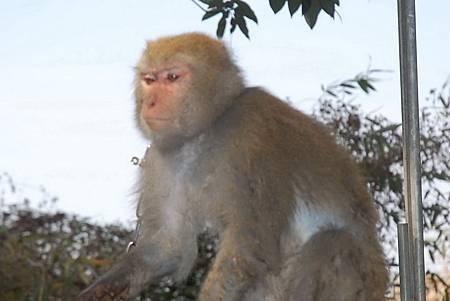 H台灣獼猴A.jpg