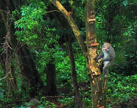 台灣獼猴1.jpg