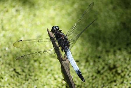 H鼎脈蜻蜓 (1).jpg