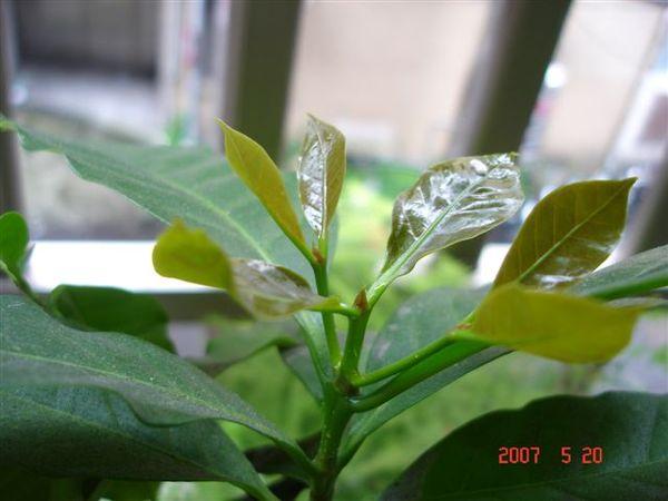 正在發芽的咖啡樹