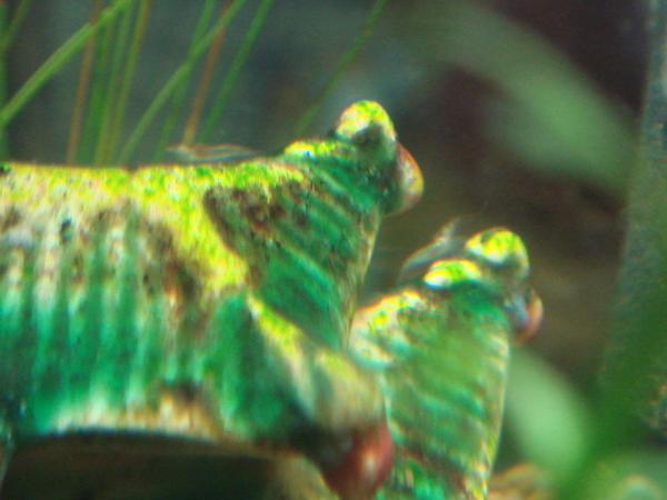 蝦寶寶11天大