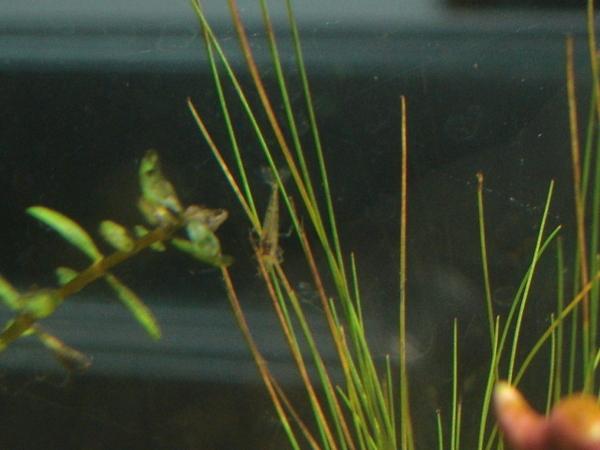 蝦寶寶24天