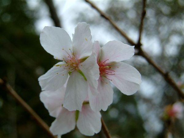 新宿御苑-日式庭園旁休息亭前冬櫻