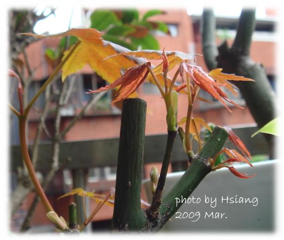 2009 楓~嫩芽