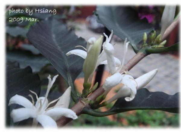 2009 咖啡樹花