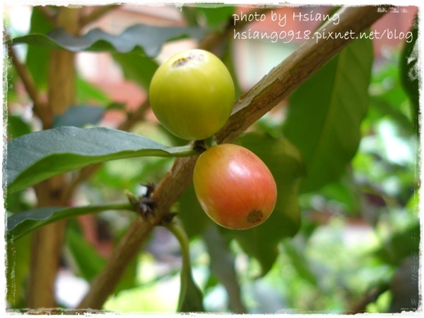 09, 2009 咖啡果實