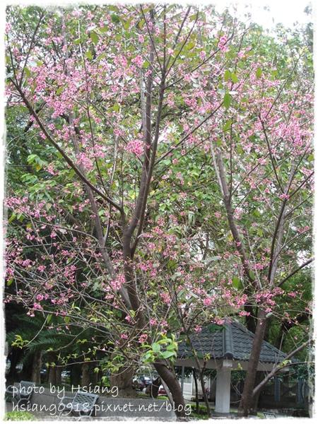 2010.02山櫻花