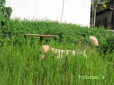 090706元氣狗-埋沒在草叢裡.jpg