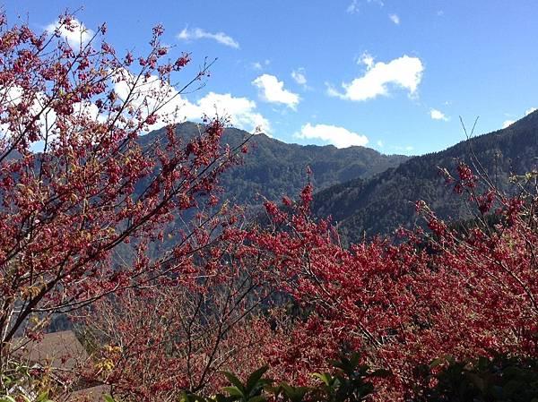 觀霧山上的櫻花.jpg