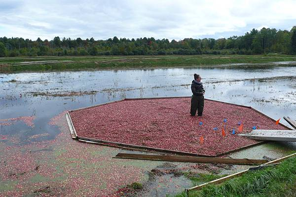 採收蔓越莓