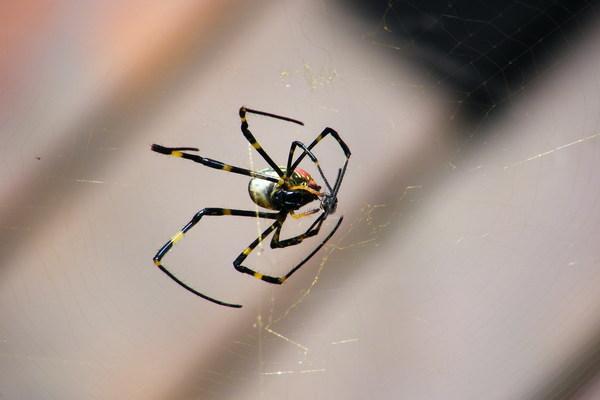 蜘蛛吃蒼蠅