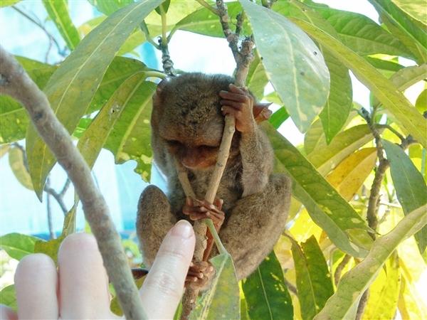 迷你眼鏡猴據說是全世界最小的猴子!有沒有給他像ET?