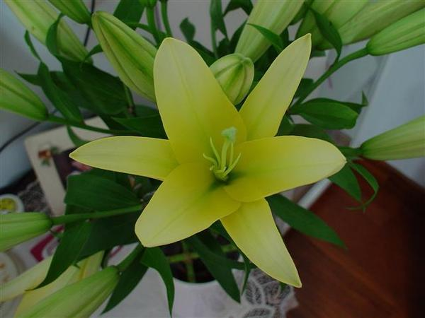 黃百合開花的特寫