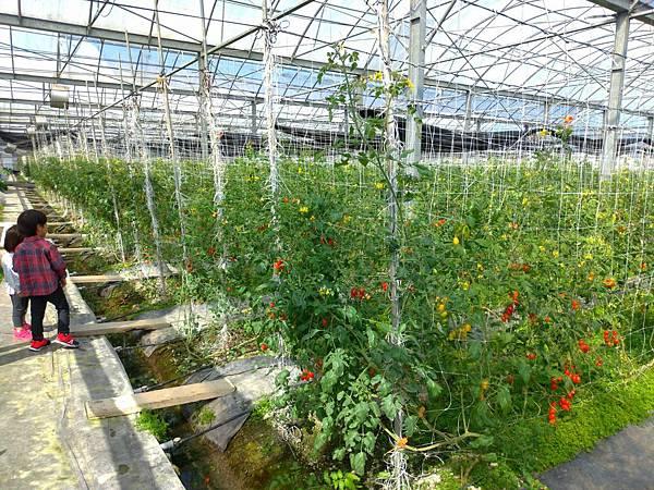 宜蘭景點採番茄