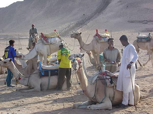坑人的駱駝人