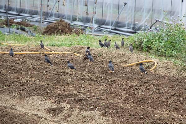 一群八哥鳥
