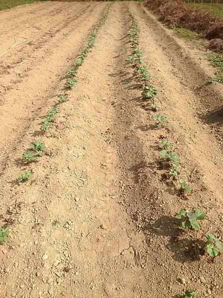 十月14種的地瓜,十一月1日攝