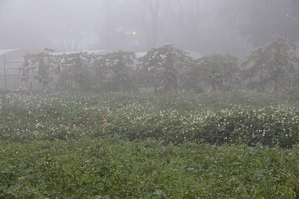 煙雨中木瓜樹
